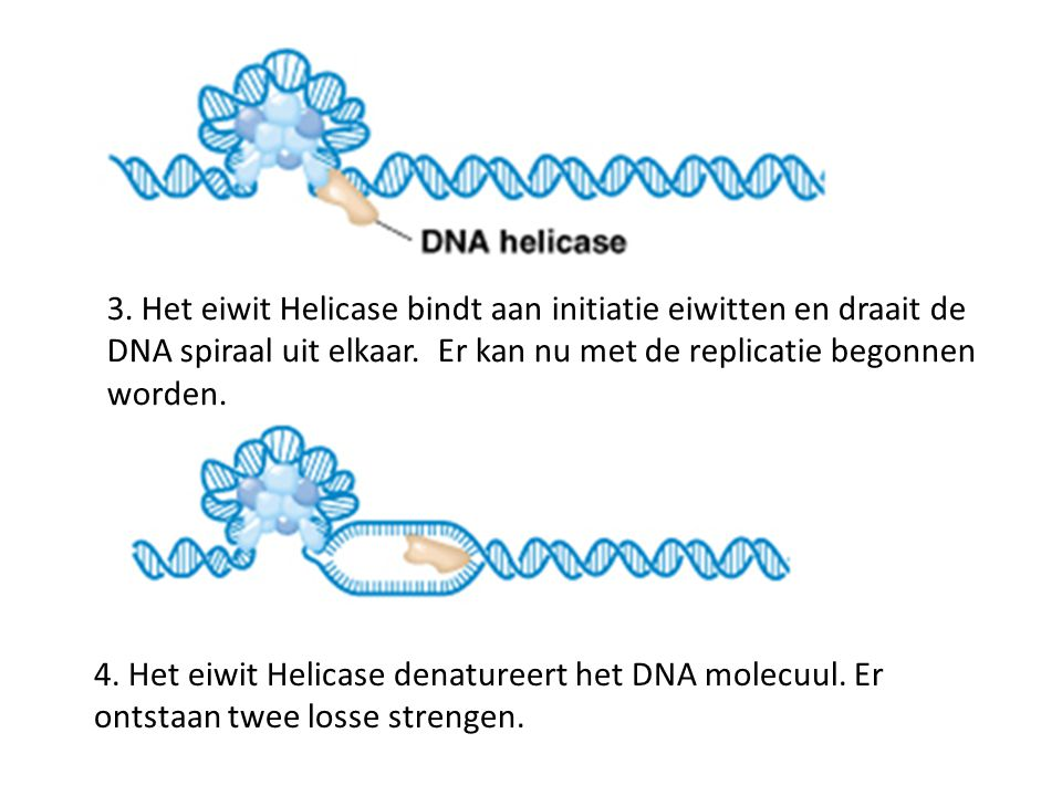3. Het eiwit Helicase bindt aan initiatie eiwitten en draait de DNA spiraal uit elkaar. Er kan nu met de replicatie begonnen worden.