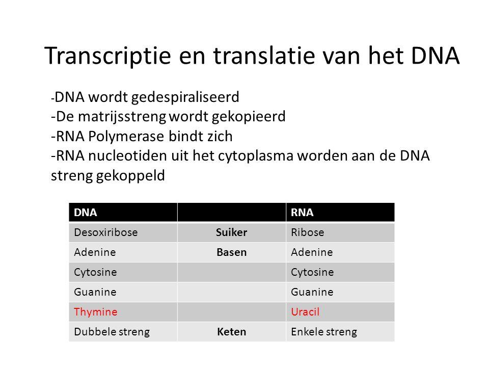 Transcriptie en translatie van het DNA