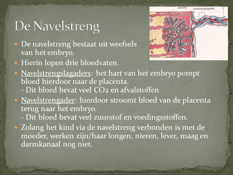De Navelstreng De navelstreng bestaat uit weefsels van het embryo.