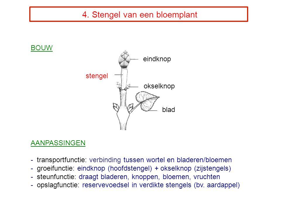 4. Stengel van een bloemplant