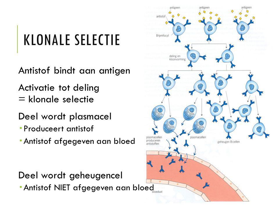 Klonale selectie Antistof bindt aan antigen