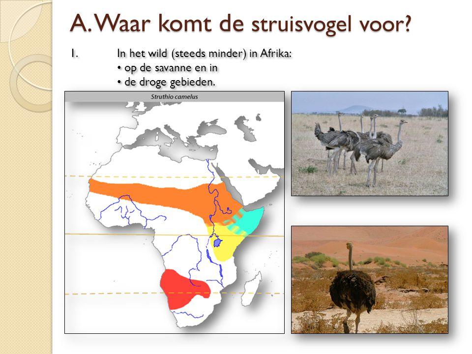 A. Waar komt de struisvogel voor