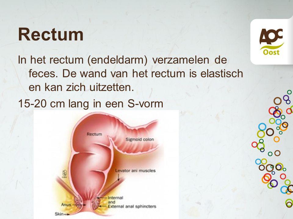 Rectum In het rectum (endeldarm) verzamelen de feces.