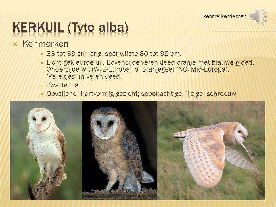 Kerkuil (Tyto alba) Kenmerken