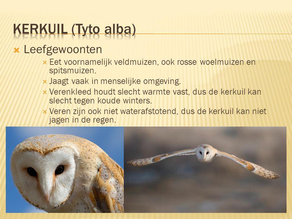 Kerkuil (Tyto alba) Leefgewoonten