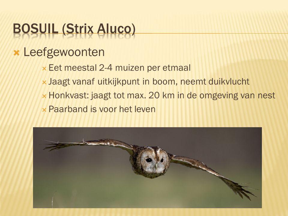 Bosuil (Strix Aluco) Leefgewoonten Eet meestal 2-4 muizen per etmaal