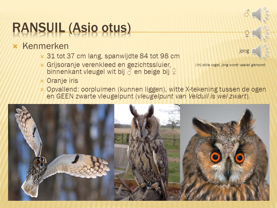 Ransuil (Asio otus) Kenmerken ♂ ♀