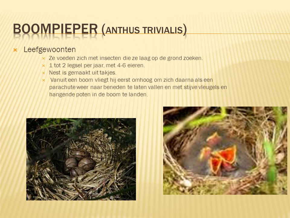 boompieper (Anthus trivialis)