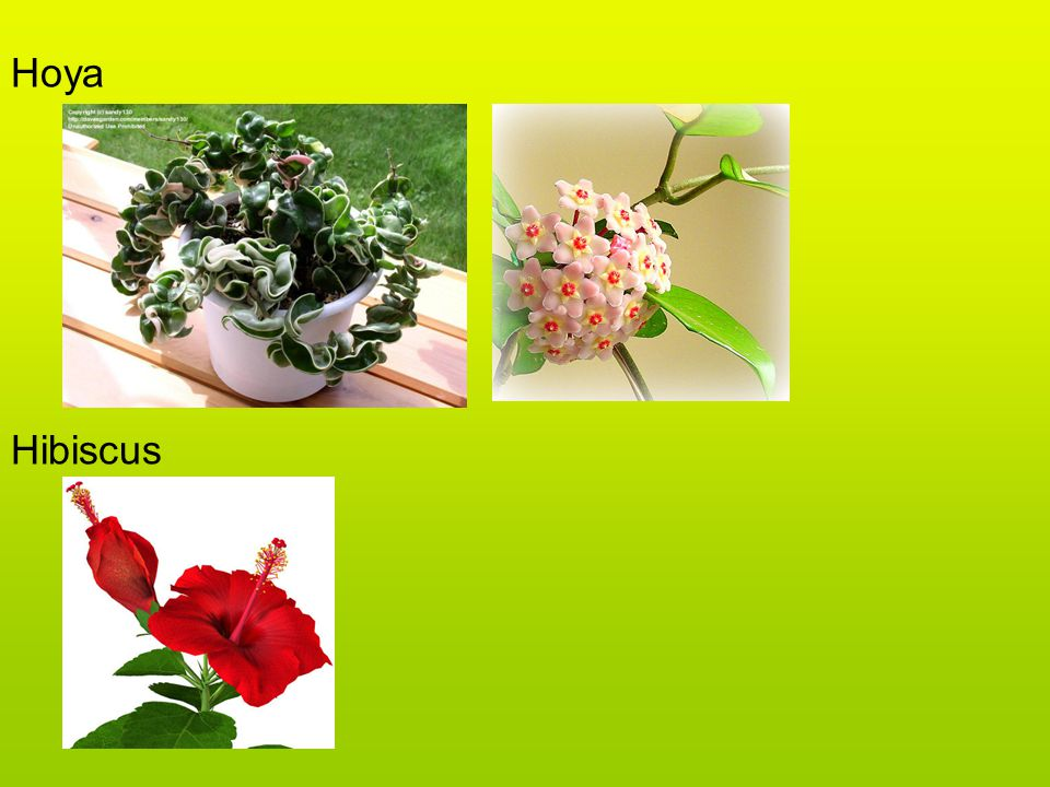 Hoya Hibiscus