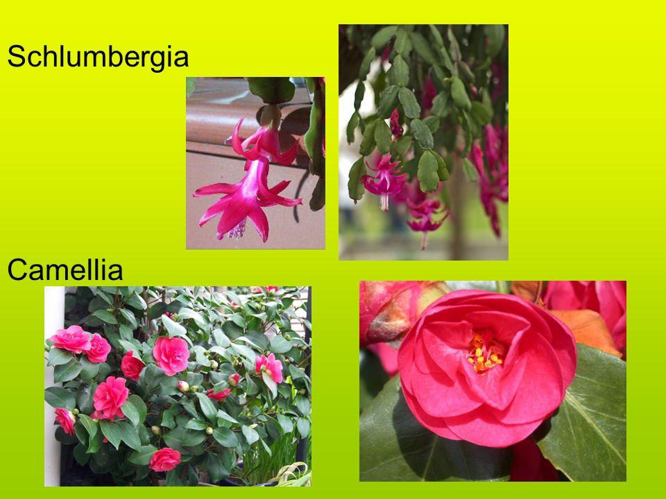 Schlumbergia Camellia