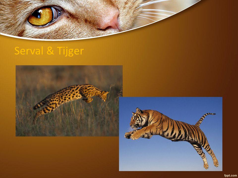 Serval & Tijger