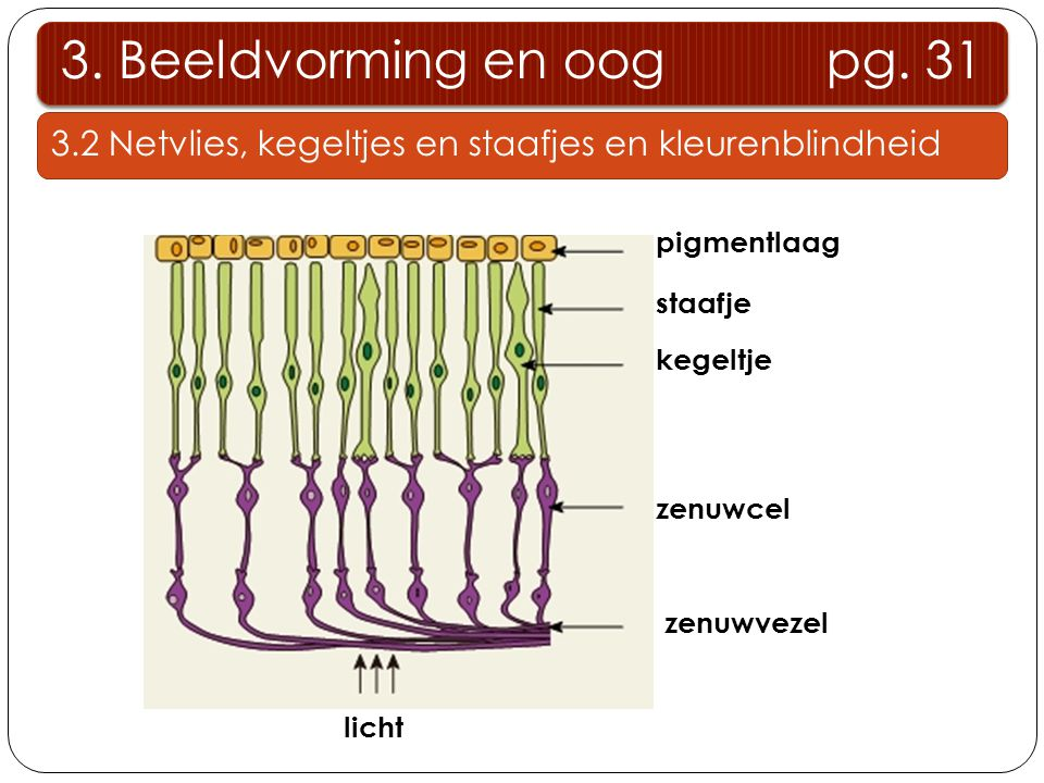 3. Beeldvorming en oog pg. 31 3.2 Netvlies, kegeltjes en staafjes en kleurenblindheid. pigmentlaag.