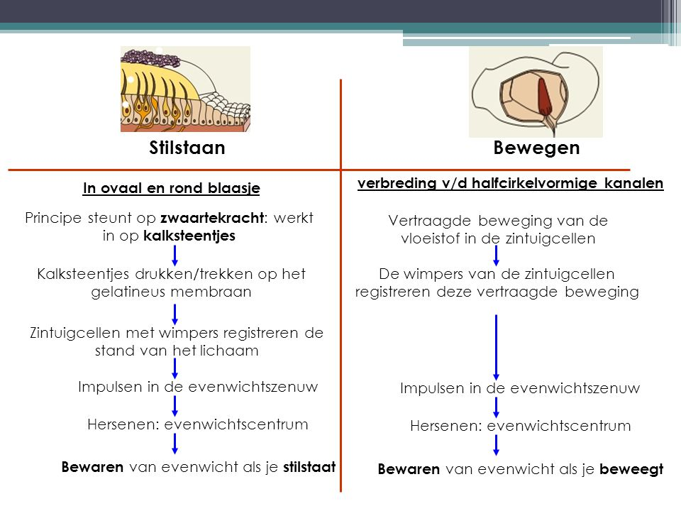 verbreding v/d halfcirkelvormige kanalen In ovaal en rond blaasje