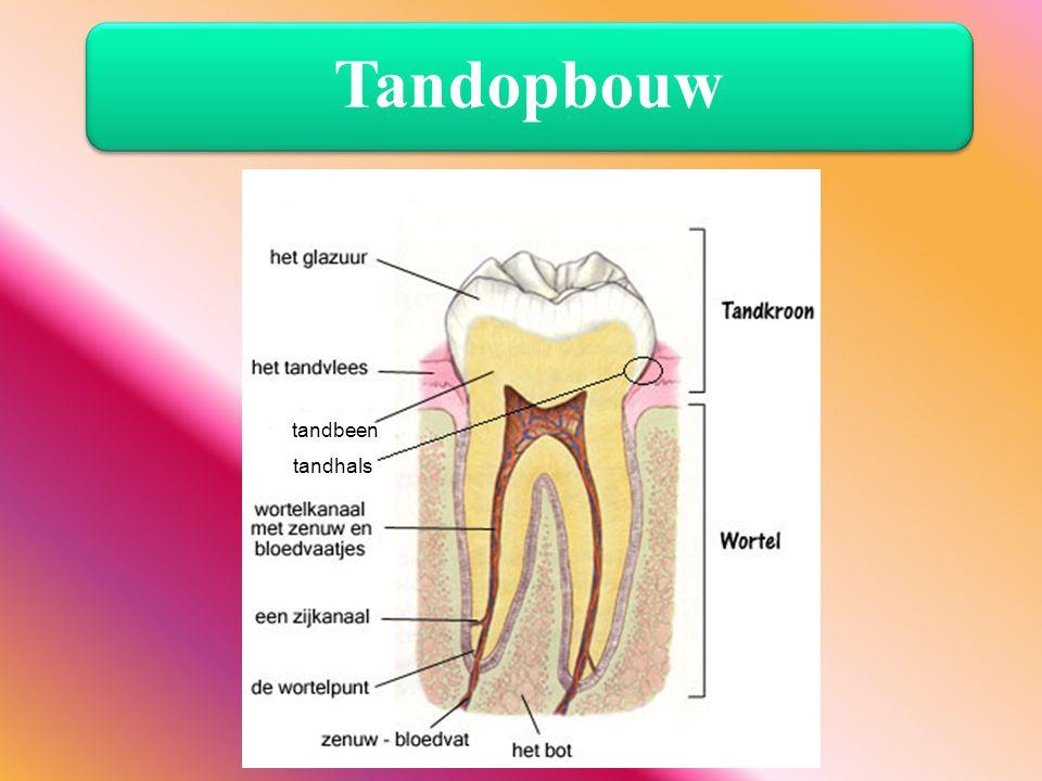 Tandopbouw tandbeen tandhals De opbouw van het gebit