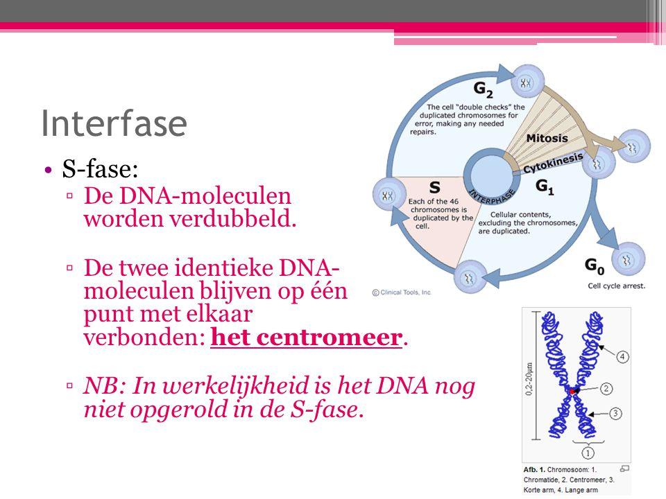 Interfase S-fase: De DNA-moleculen worden verdubbeld.