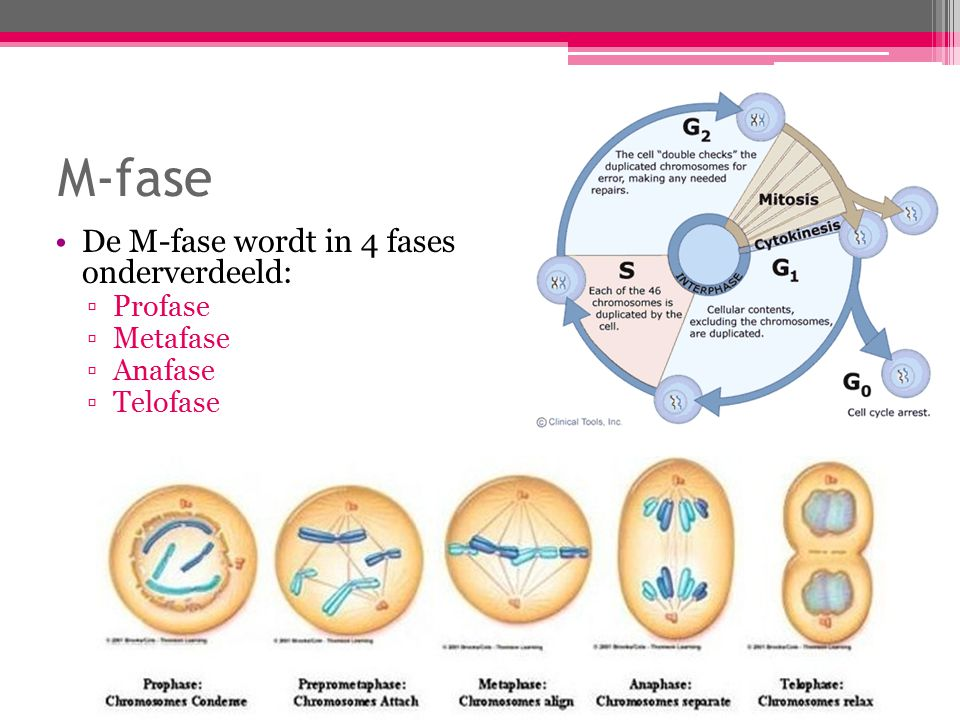 M-fase De M-fase wordt in 4 fases onderverdeeld: Profase Metafase