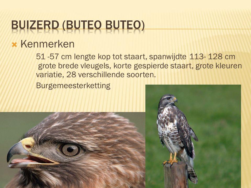 Buizerd (buteo buteo) Kenmerken