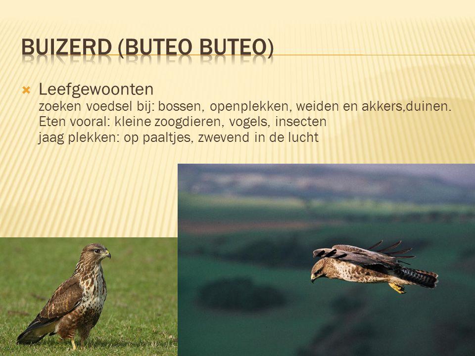 Buizerd (buteo buteo)
