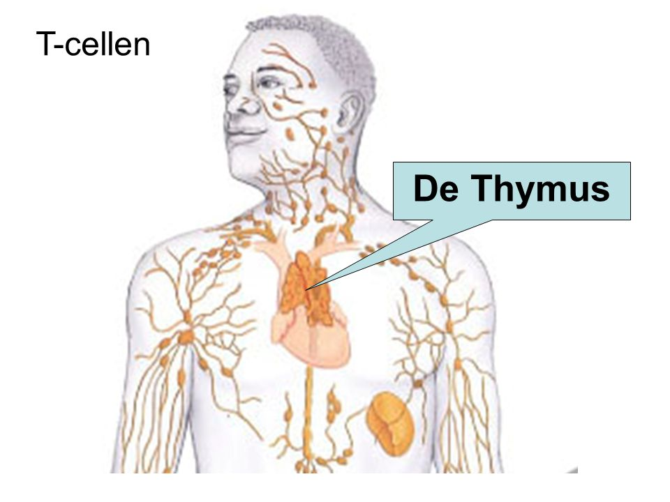 T-cellen De Thymus