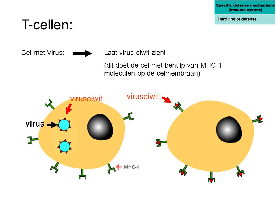 T-cellen: viruseiwit viruseiwit virus