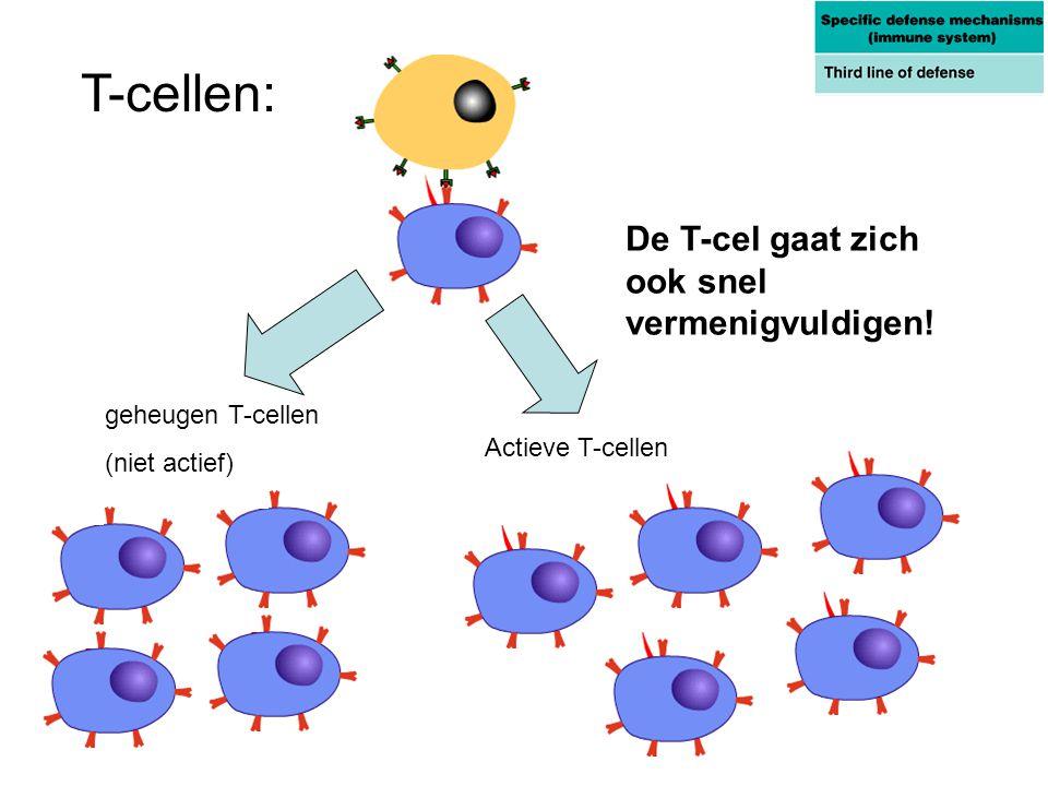 T-cellen: De T-cel gaat zich ook snel vermenigvuldigen!