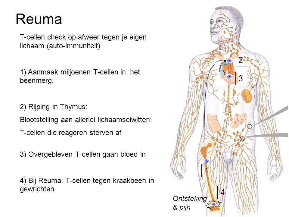 Reuma T-cellen check op afweer tegen je eigen lichaam (auto-immuniteit) 1) Aanmaak miljoenen T-cellen in het beenmerg.