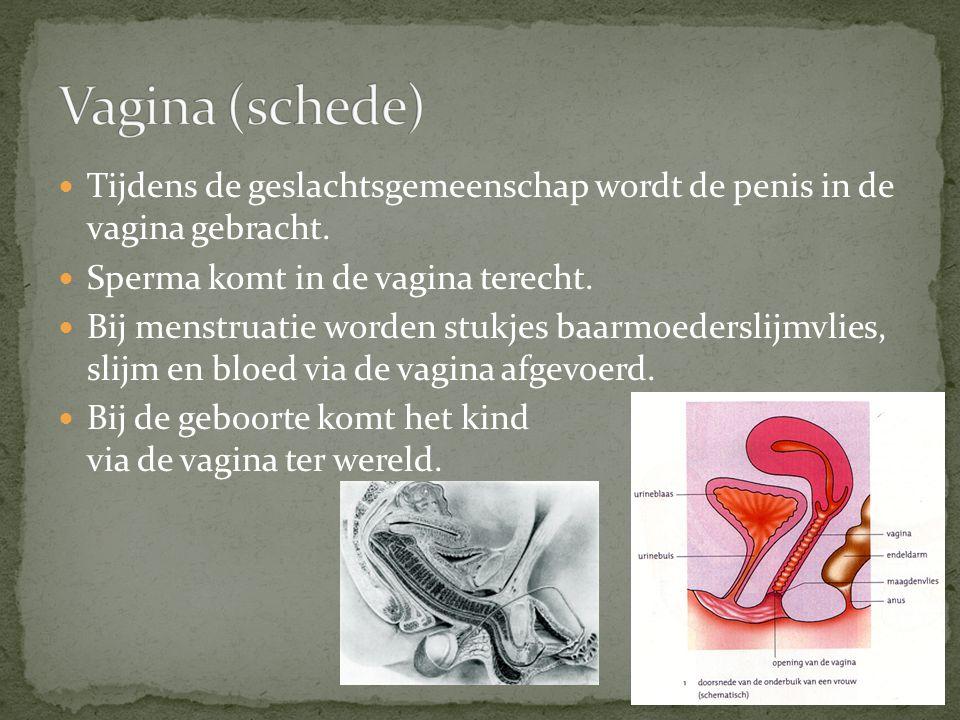 Vagina (schede) Tijdens de geslachtsgemeenschap wordt de penis in de vagina gebracht. Sperma komt in de vagina terecht.