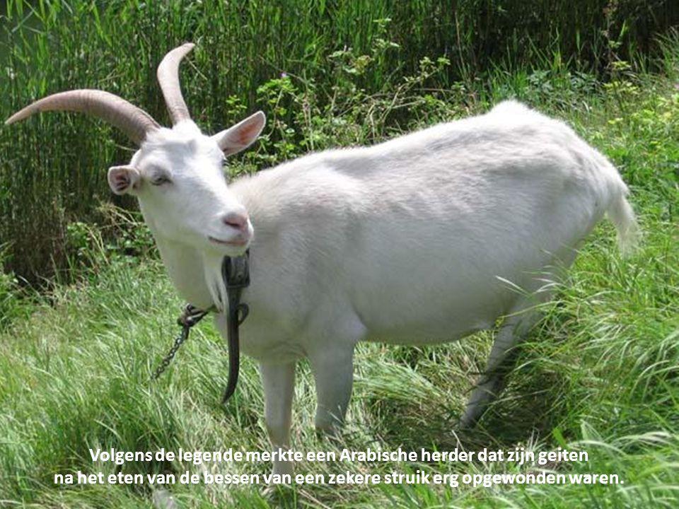 Volgens de legende merkte een Arabische herder dat zijn geiten
