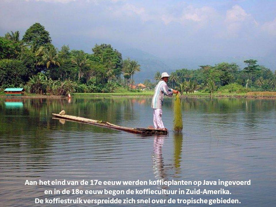 Aan het eind van de 17e eeuw werden koffieplanten op Java ingevoerd