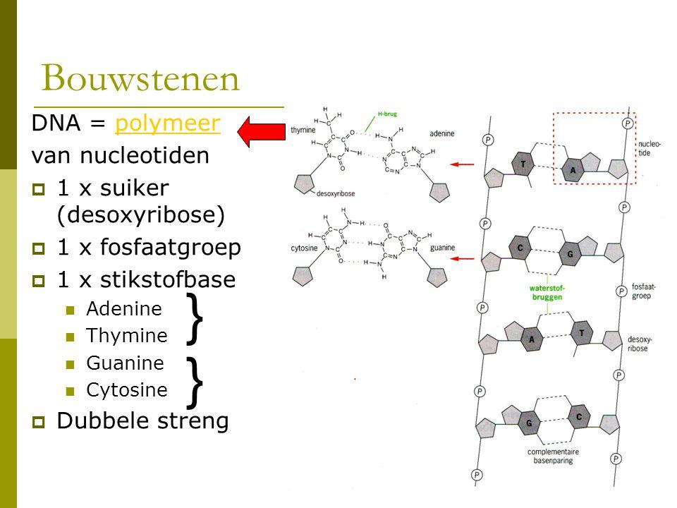 } } Bouwstenen DNA = polymeer van nucleotiden