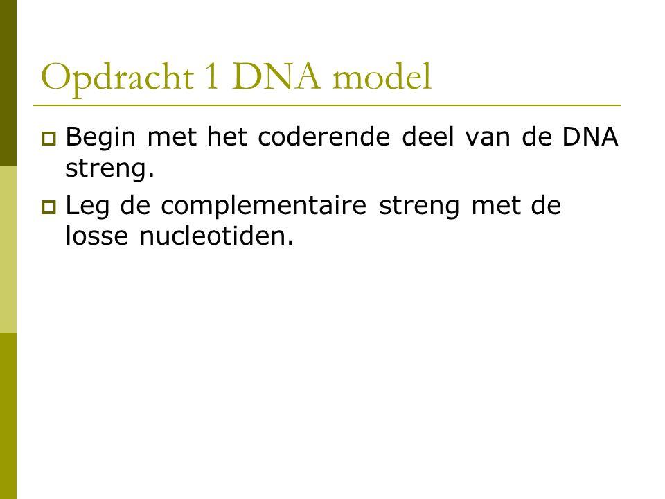 Opdracht 1 DNA model Begin met het coderende deel van de DNA streng.