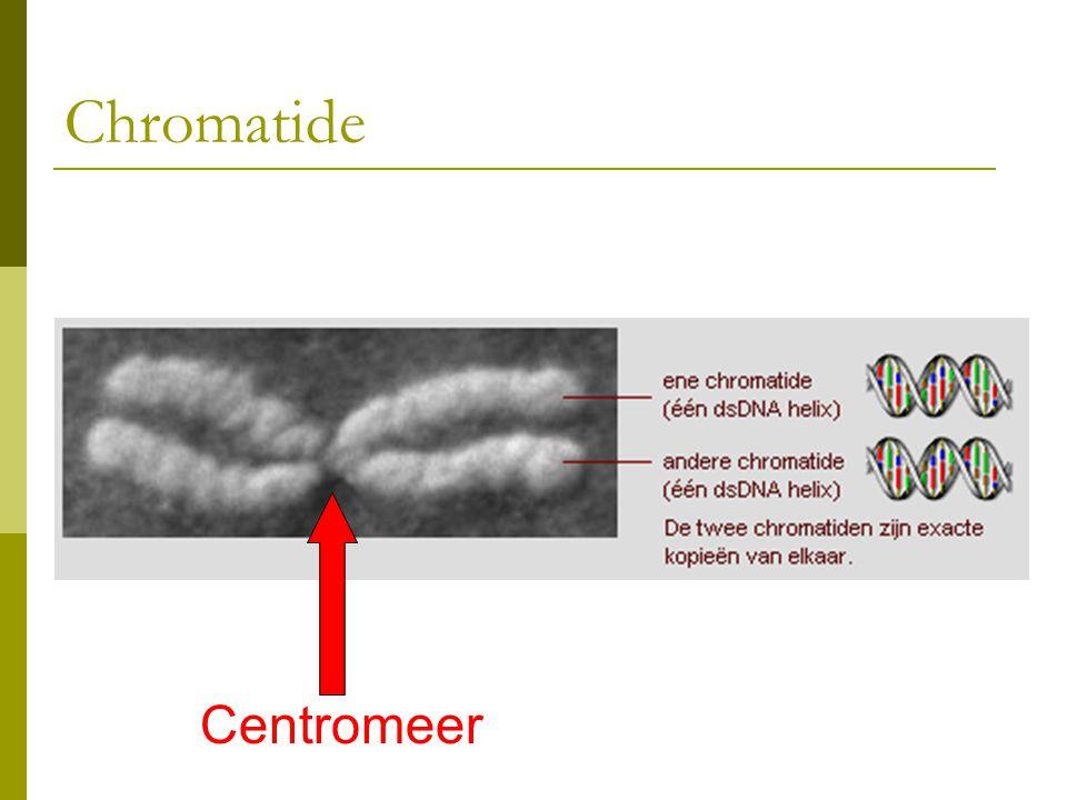 Chromatide Centromeer