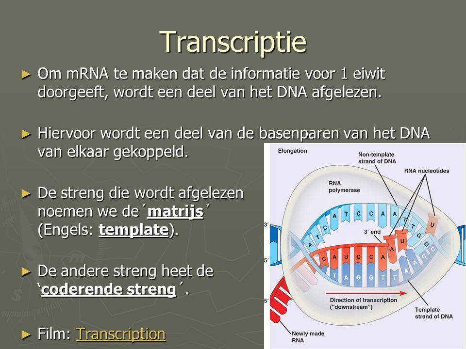 Transcriptie Om mRNA te maken dat de informatie voor 1 eiwit doorgeeft, wordt een deel van het DNA afgelezen.