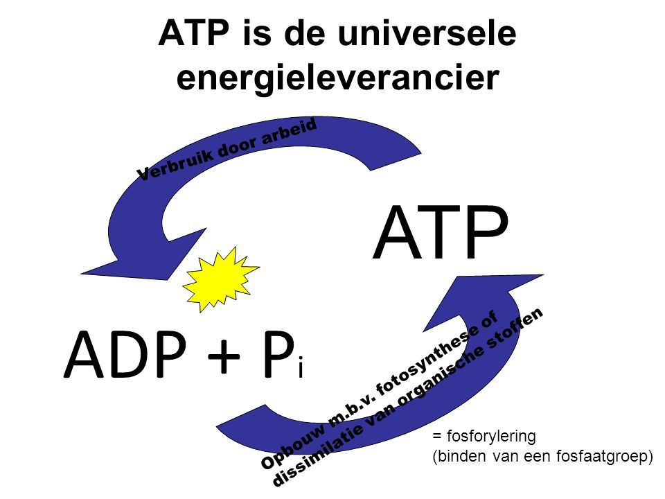 ATP is de universele energieleverancier