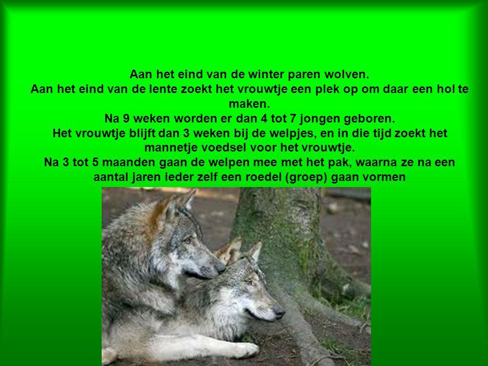Aan het eind van de winter paren wolven.