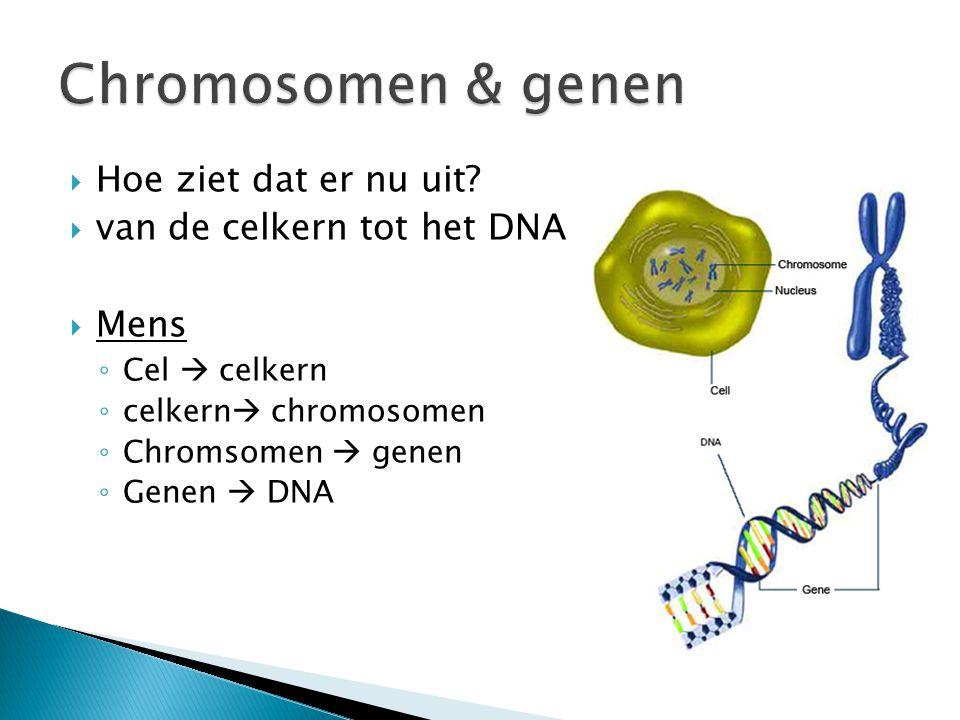 Chromosomen & genen Hoe ziet dat er nu uit van de celkern tot het DNA