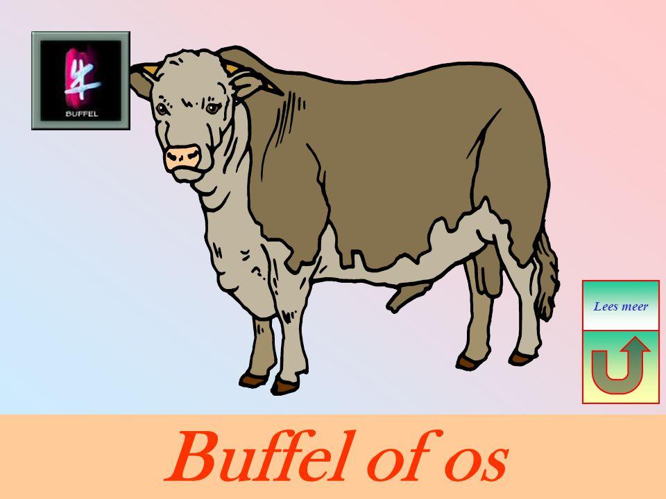 Lees meer Buffel of os