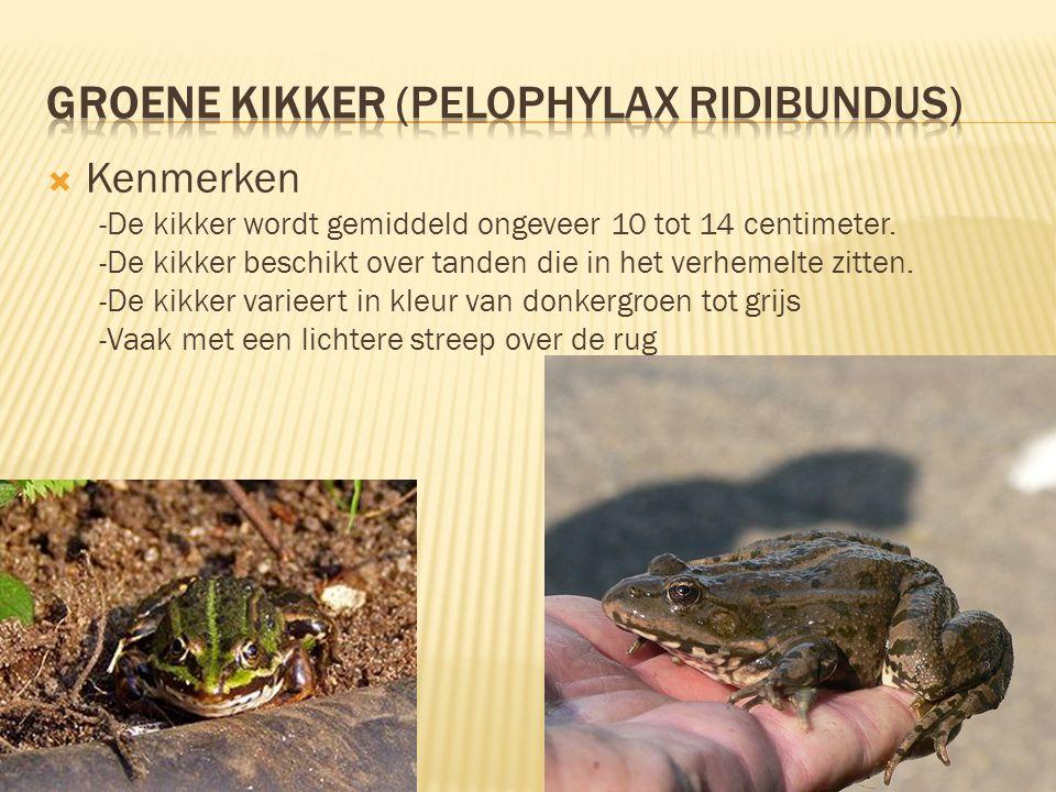 Groene kikker (Pelophylax ridibundus)