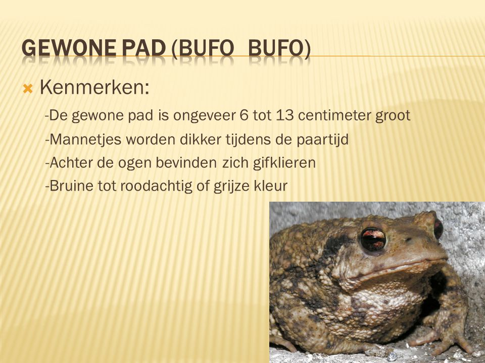 Gewone pad (Bufo bufo) Kenmerken: -De gewone pad is ongeveer 6 tot 13 centimeter groot. -Mannetjes worden dikker tijdens de paartijd.