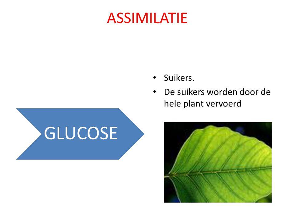 ASSIMILATIE Suikers. De suikers worden door de hele plant vervoerd