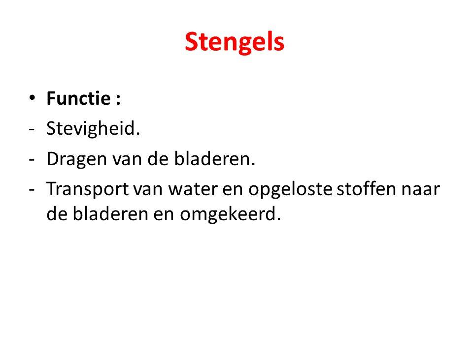 Stengels Functie : Stevigheid. Dragen van de bladeren.