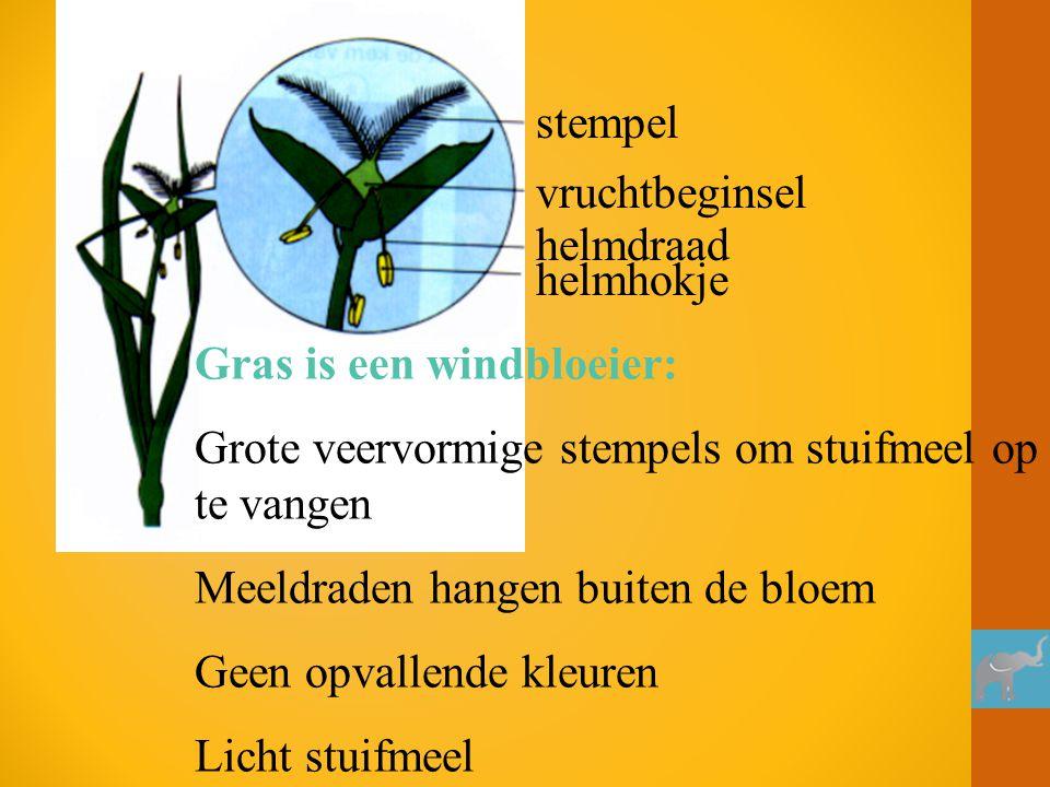 stempel vruchtbeginsel. helmdraad. helmhokje. Gras is een windbloeier: Grote veervormige stempels om stuifmeel op te vangen.
