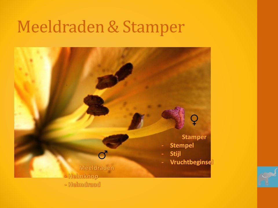 Meeldraden & Stamper Stamper Stempel Stijl Vruchtbeginsel Meeldraden