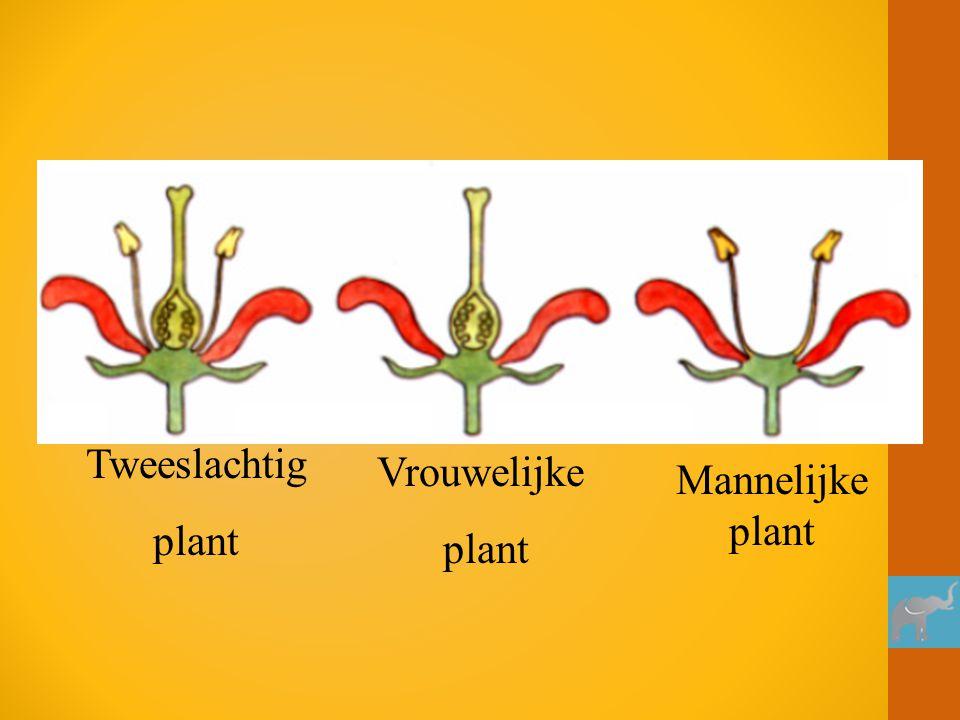 Tweeslachtig plant Vrouwelijke plant Mannelijke plant
