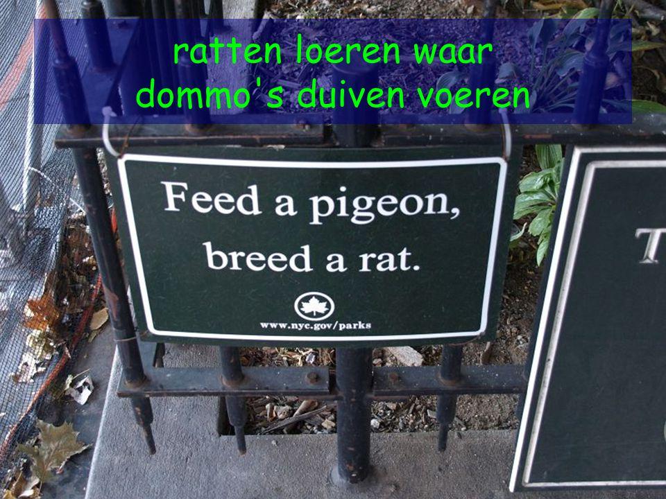 ratten loeren waar dommo s duiven voeren