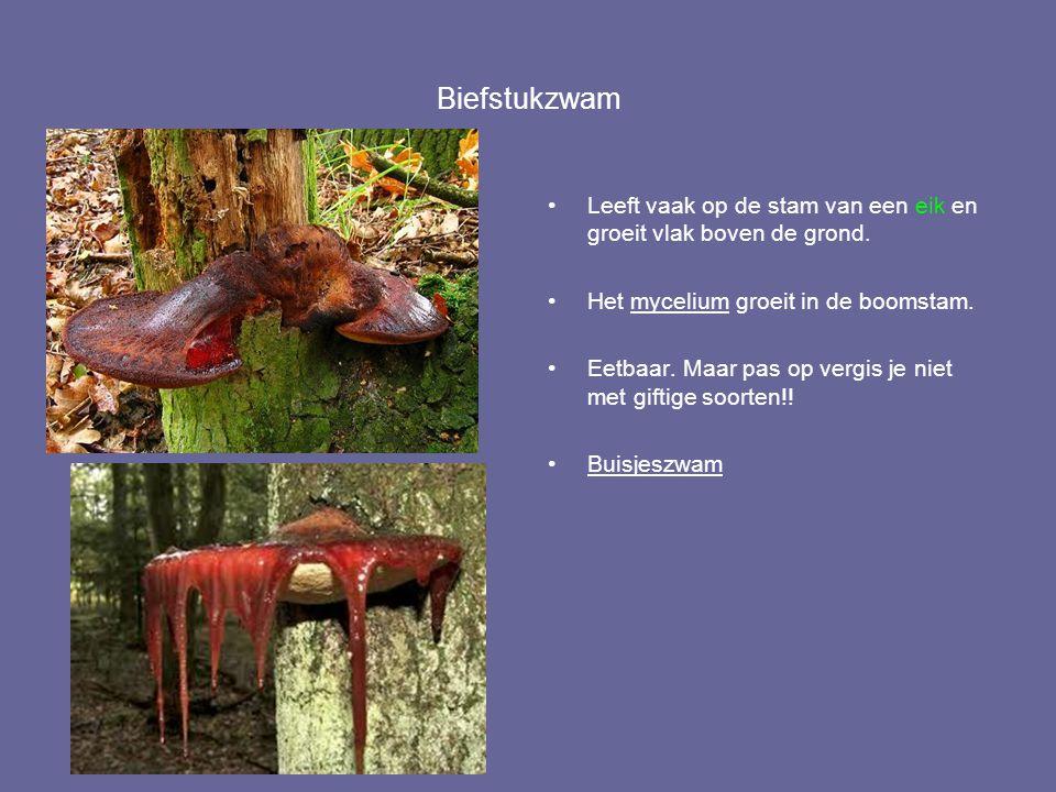 Biefstukzwam Leeft vaak op de stam van een eik en groeit vlak boven de grond. Het mycelium groeit in de boomstam.