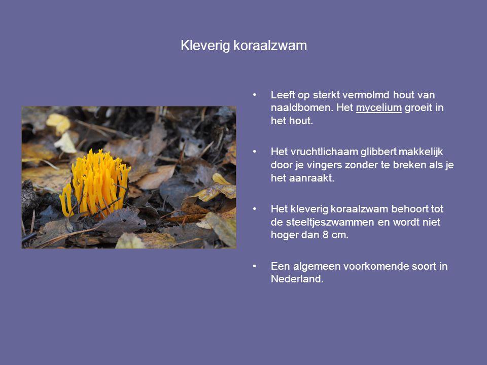 Kleverig koraalzwam Leeft op sterkt vermolmd hout van naaldbomen. Het mycelium groeit in het hout.