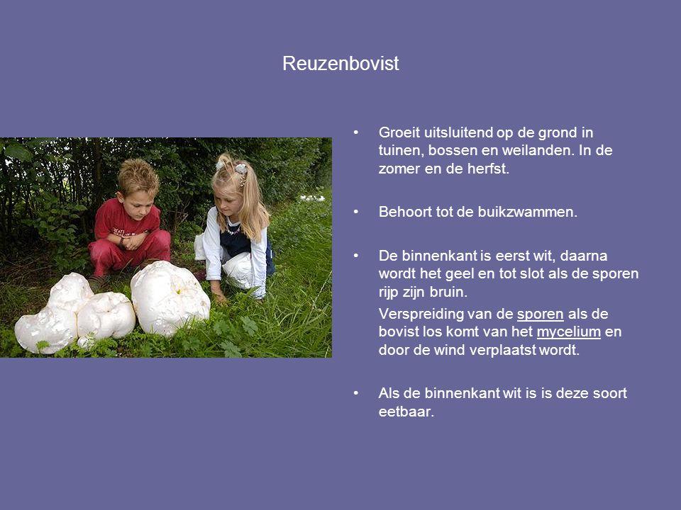 Reuzenbovist Groeit uitsluitend op de grond in tuinen, bossen en weilanden. In de zomer en de herfst.