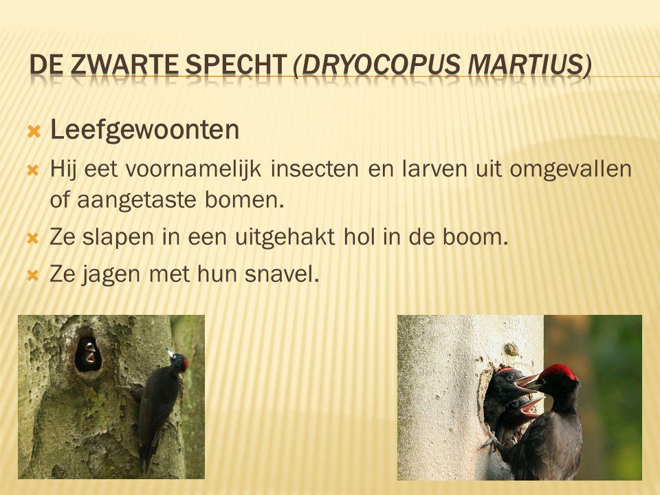 De zwarte specht (Dryocopus martius)