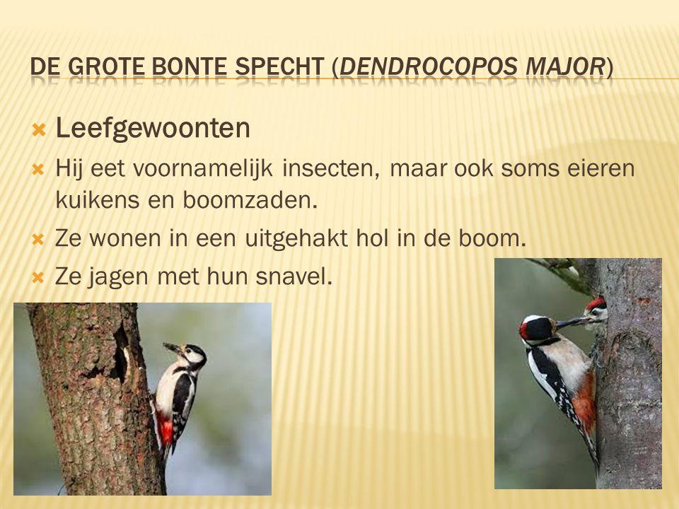 De grote bonte specht (Dendrocopos major)